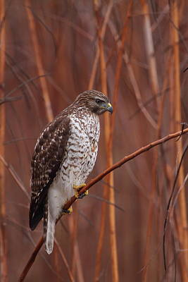 Photograph - Broad-winged Hawk Perched by Bruce J Robinson
