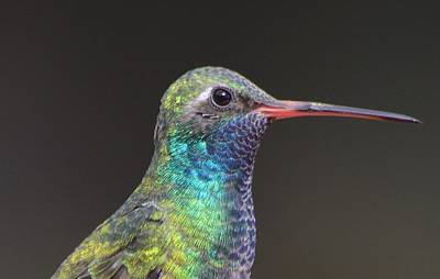 Broadbilled Hummingbirds Photograph - Broadbilled by Meeli Sonn