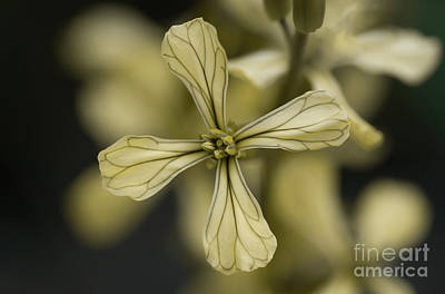 Photograph - Rucola Flower I by Giovanni Malfitano