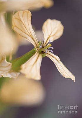 Photograph - Rucola Flower II by Giovanni Malfitano
