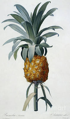 Tropical Fruit Painting - Bromelia Ananas by Pierre Joseph Redoute