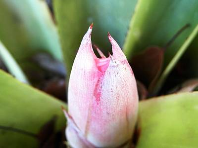 Photograph - Bromeliad Bloom Pod by Belinda Lee