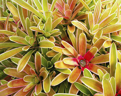 Bromeliad Photograph - Bromeliad Brightness by Ron Dahlquist - Printscapes