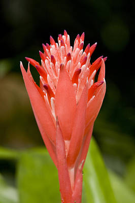 Bromeliad Flower, An Epiphyte From C & Art Print by Tim Laman