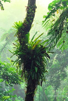 Bromeliads And Mist El Yunque Art Print by Thomas R Fletcher