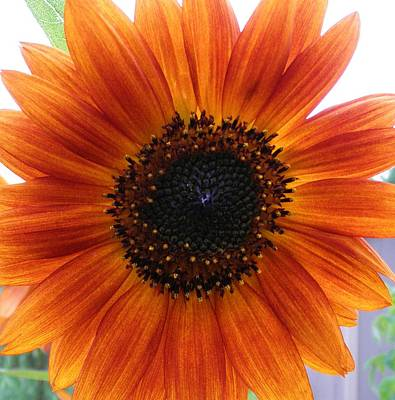 Bronze Sunflower No 2 Art Print by Jeanette Oberholtzer