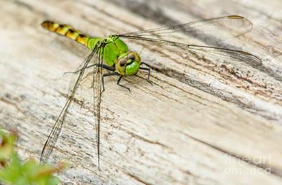 Photograph - Eastern Pondhawk Dragonfly  by Cheryl Baxter