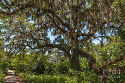 Photograph - Brookgreen Gardens Live Oak Tree by Dale Powell