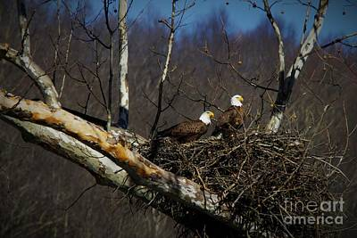 American Sycamore Photograph - Brooks Island American Bald Eagles by Timbo Connard