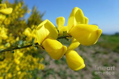 Broom In Bloom 4 Art Print