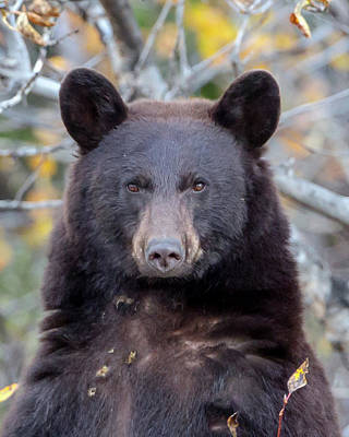 Photograph - Bear Stare by Jack Bell