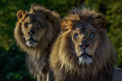 Pittsburgh Zoo Photograph - Brothers by Ashley Noble