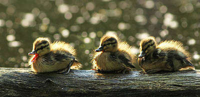 Baby Mallards Photograph - Brothers by Mircea Costina Photography