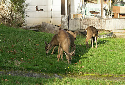 Photograph - Browsing Deer In A Front Yard by Tom Cochran