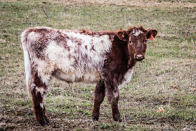 Photograph - Brown And White Bovine by Karen Saunders