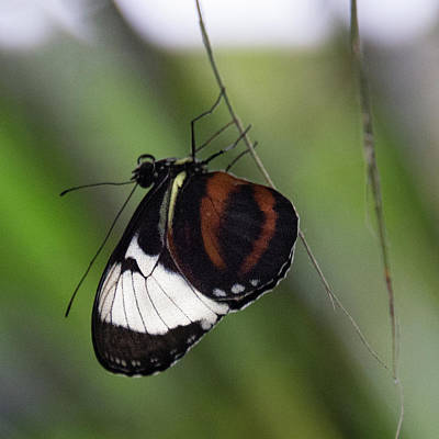 Photograph - Brown And White Butterfly by Michael Bessler
