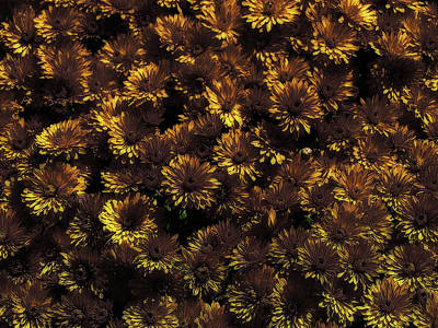 Photograph - Brown And Yellow Mums by Scott Hovind