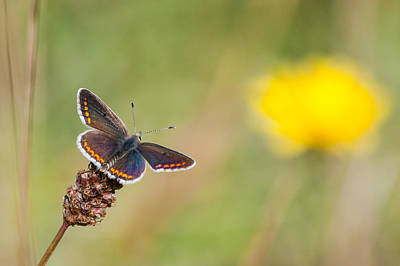 Photograph - Brown Argus Butterfly by Paul Sharman