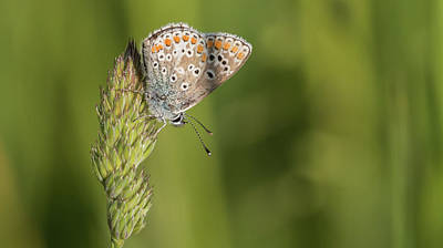 Photograph - Brown Argus by Wendy Cooper