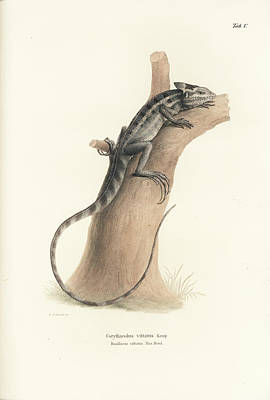 Drawing - Brown Basilisk, Basiliscus Vittatus by Friedrich August Schmidt
