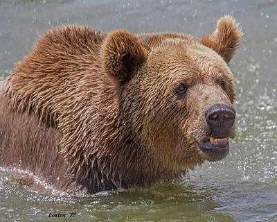 Photograph - Brown Bear 10 by Larry Linton