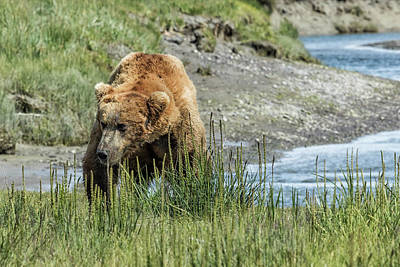 Photograph - Brown Bear After His Dip by Belinda Greb