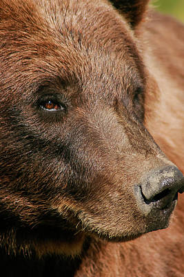 Photograph - Brown Bear by Benjamin Dahl