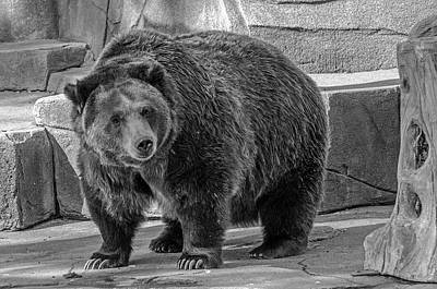 Photograph - Brown Bear - Black And White by Susan McMenamin