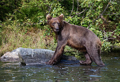 Photograph - Brown Bear Climbing by Gloria Anderson