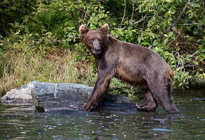 Photograph - Brown Bear Climbing by Gloria Anderson