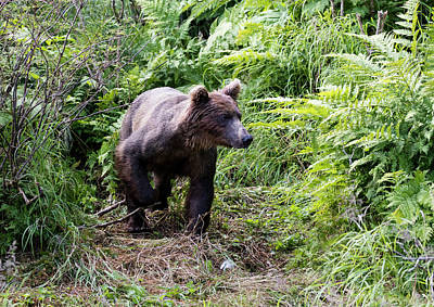 Photograph - Brown Bear Coming Through The Brush by Gloria Anderson