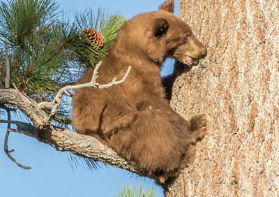 Brown Bear Cub Chewing On A Pine Tree Art Print