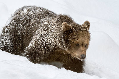 Photograph - Brown Bear Cub In The Snow by Arterra Picture Library
