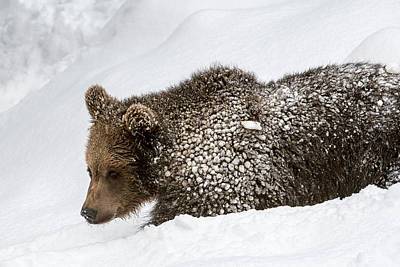 Photograph - Brown Bear Cub In Winter by Arterra Picture Library