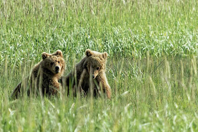 Photograph - Brown Bear Cubs - Before Play by Belinda Greb