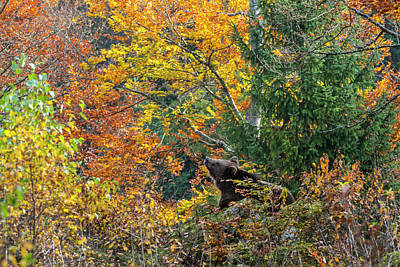 Photograph - Brown Bear In The Fall by Arterra Picture Library