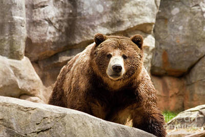 Photograph - Brown Bear by Jill Lang