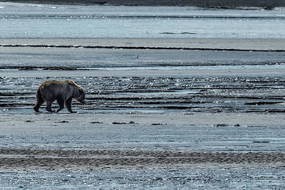 Photograph - Brown Bear Looking For Clams by Belinda Greb