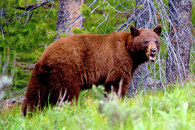 Photograph - Brown Bear by Norman Hall