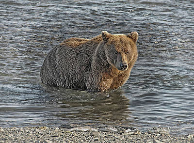 Photograph - Brown Bear Of Hallo Bay by Dyle   Warren