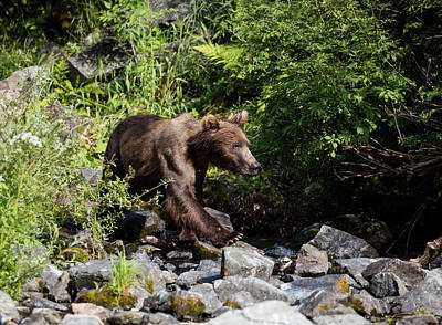 Photograph - Brown Bear On The Rocks by Gloria Anderson