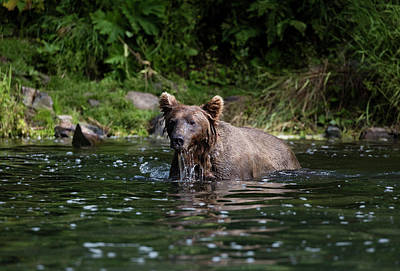 Photograph - Brown Bear Playing In The Water by Gloria Anderson