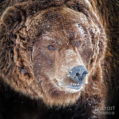 Photograph - Brown Bear Portrait by Sonya Lang