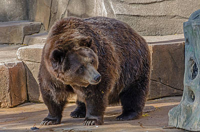 Photograph - Brown Bear by Susan McMenamin
