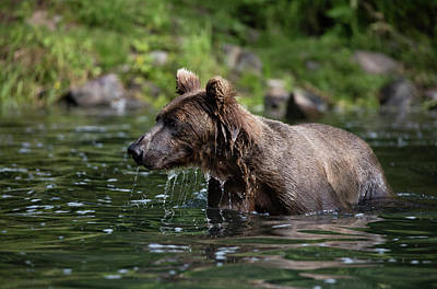 Photograph - Brown Bear Swimming by Gloria Anderson