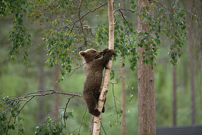Photograph - Brown Bear Ursus Arctos Cub Climbing by Konrad Wothe