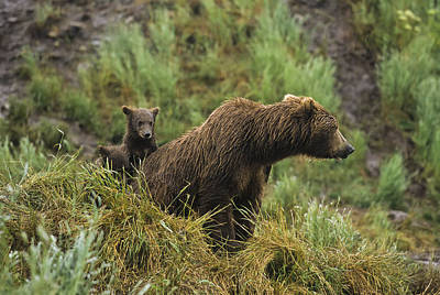 Grizzly Photograph - Brown Bear  Ursus Arctos  Cubs Sitting by Gary Schultz