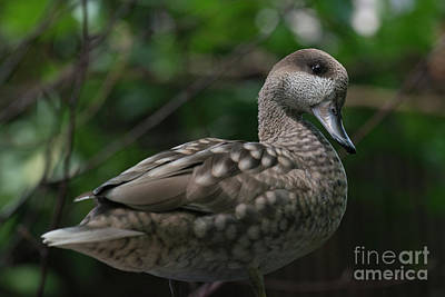Photograph - Marbled Teal by Loriannah Hespe