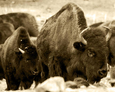 Photograph - Brown Bison by Kevin Munro