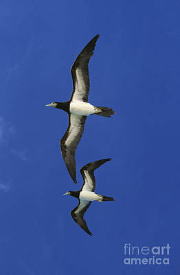 Brown Booby Sula Leucogaster Print by Gerard Lacz